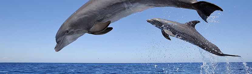 jumping-dolphins-sea